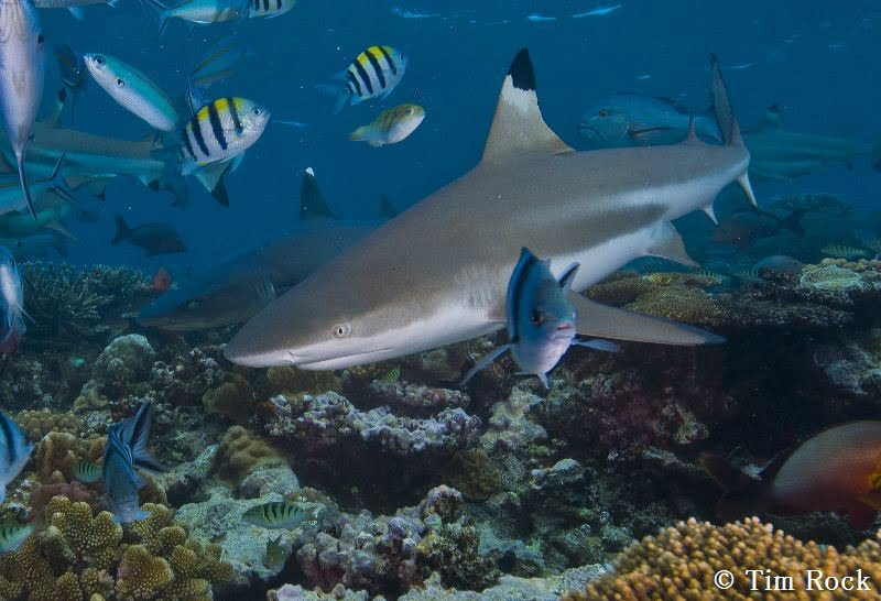 Blacktip Reef Sharks by Tim Rock