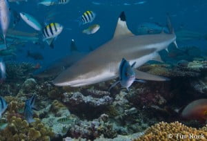 Black tip shark Tim Rock