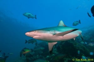 Grey reef shark in Fiji