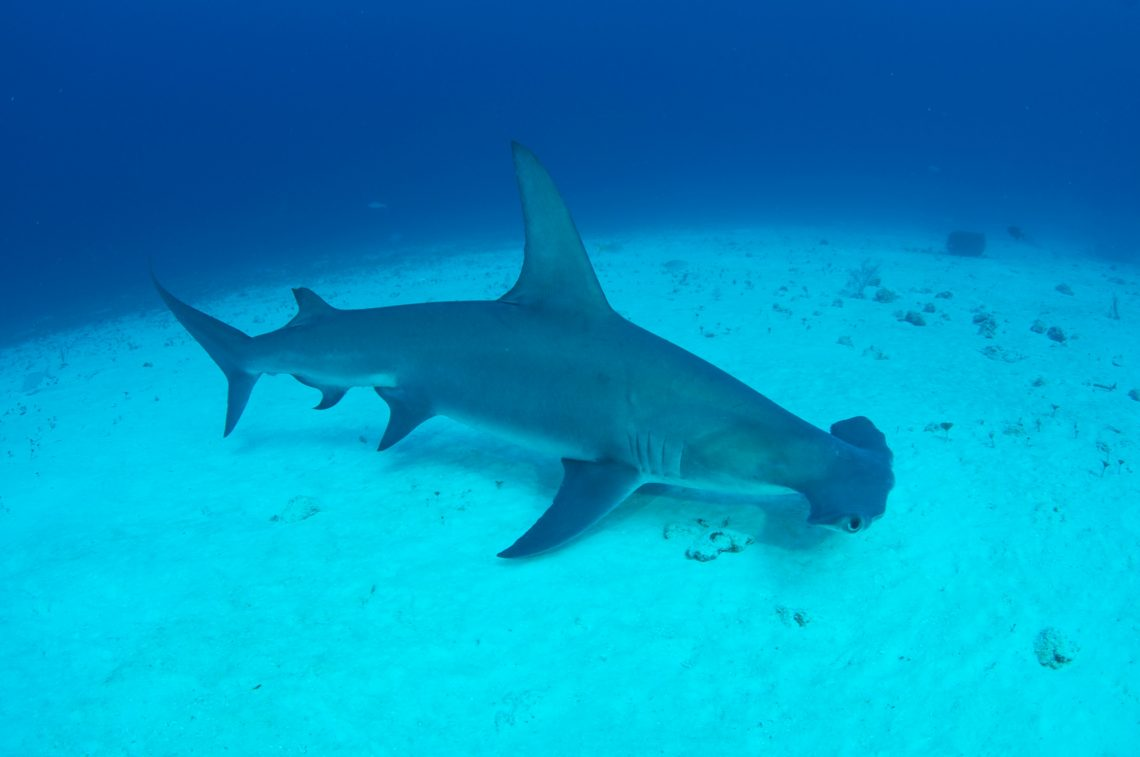 great hammerhead shark by robert lupo dion the great fiji shark