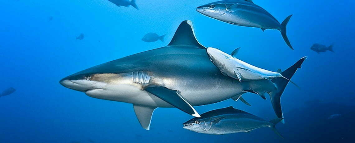 the great shark count silvertip shark