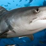 Tiger_Shark_Header