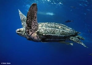 Leatherback turtle underwater